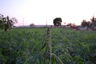 piantagioni canapa